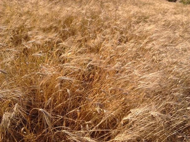 حقول القمح بإقليم وزان