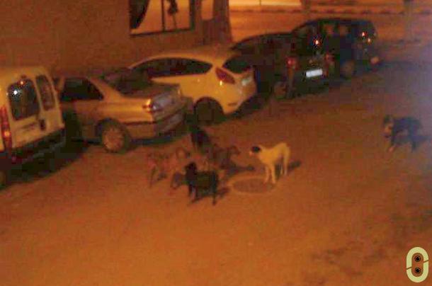 الكلاب الضالة بوزان